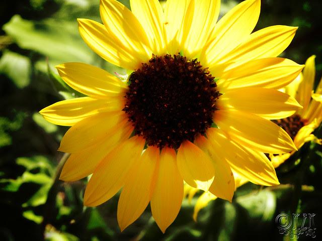DSCN4340 Sunflower