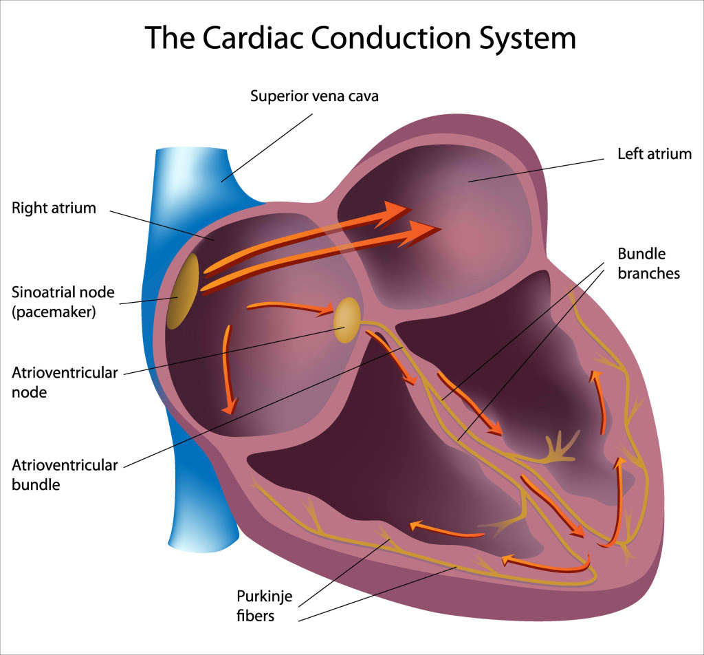 Cardiac Conduction System 1024x952