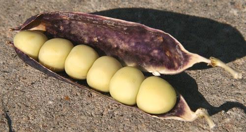 capucijner peas in a pod