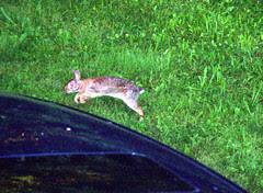 Bunny_71309