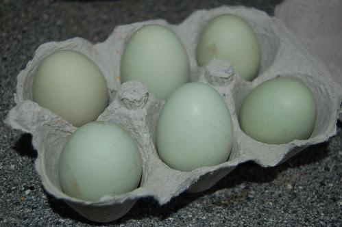 eggs olive coloured Aug 12