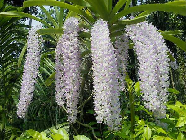 File:Rhynchostylis gigantea of Assam.jpg