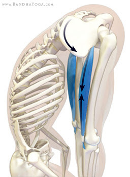 rectus femoris in uttanasana forward bend