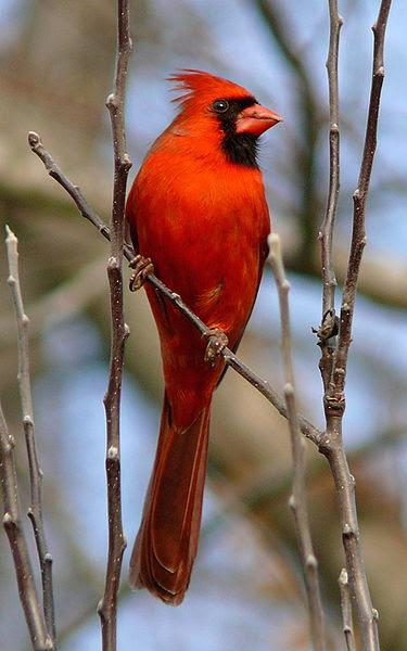 File:Northern Cardinal Male-27527-3.jpg
