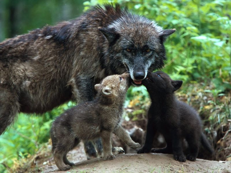 Fondos De Pantalla De Lobos Cachorros Wallpapers De Lobos Cachorros