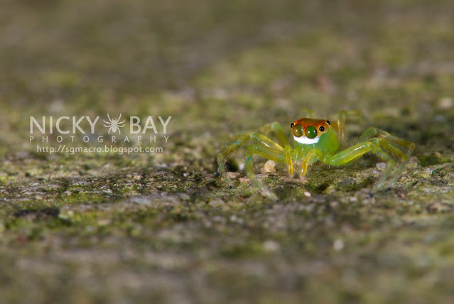 Jumping Spider (Salticidae) - DSC_5516