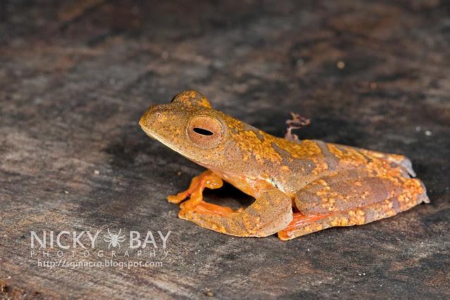 Harlequin Flying Frog (Rhacophorus pardalis) - DSC_8921