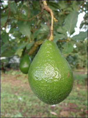 Avocado Gardening Solutions University Of Florida Institute Of