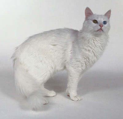 gambar kucing angora xtra