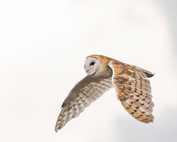 Barn owl,                                                           Pima County,                                                           Arizona