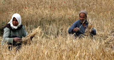 حصاد القمح – أرشيفية
