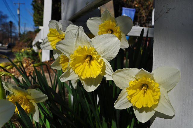 Narcissus 'Ice Follies' (1)