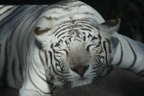 Bengal Tiger / Tigre de Bengala (Panthera Tigris)