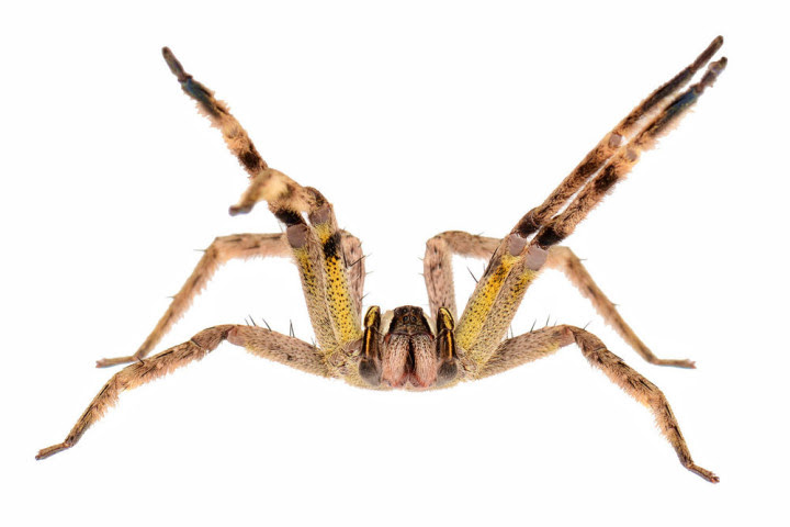 10 most dangerous spiders in the world 11