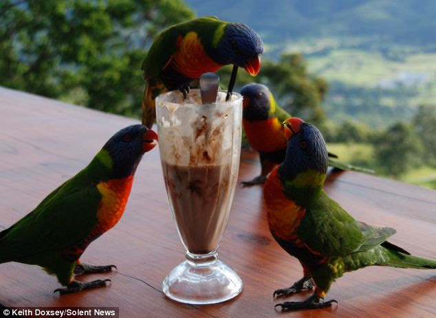 Knees shake-ing: Rivalry became fierce over the milkshake with one of the parrots prepared to fight to scare the others off