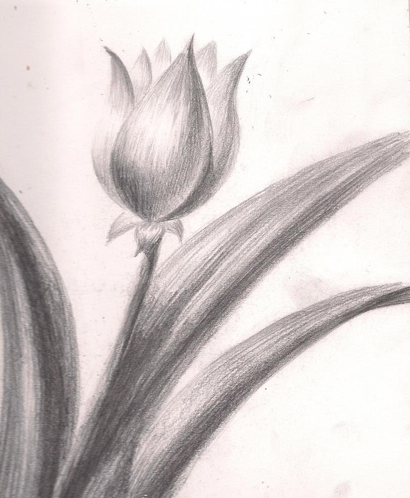 Flower  sketch Tulip  by drakanovia on DeviantArt