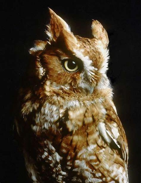 owl  burung hantu ternyta gak serem bahkan  cantik