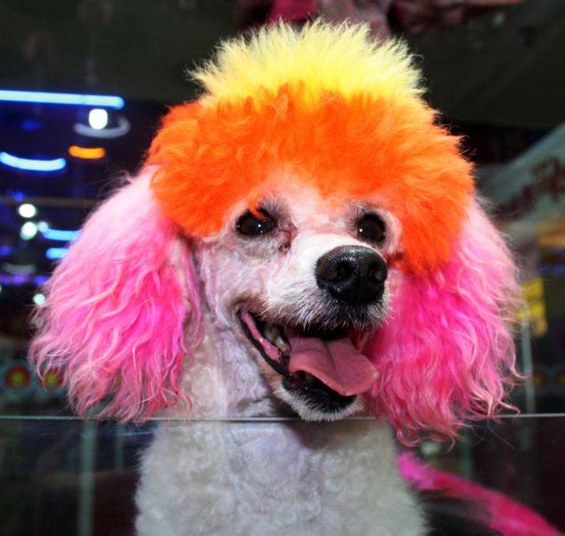 Cabelo fazer: Um animal de estimação colorido em um salão de cão em Beijing, China, depois de ter sido tingido