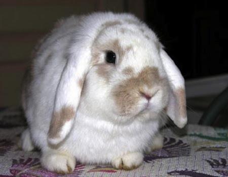 acaros en los oidos de los conejos