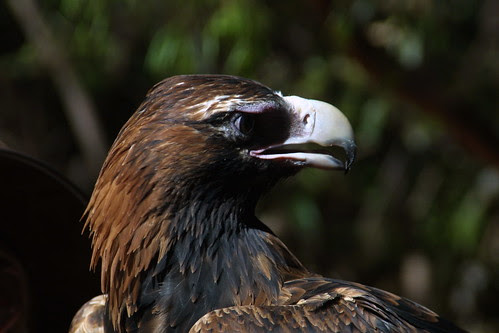Wedge-Tailed Eagle at Territory Wildlife Park