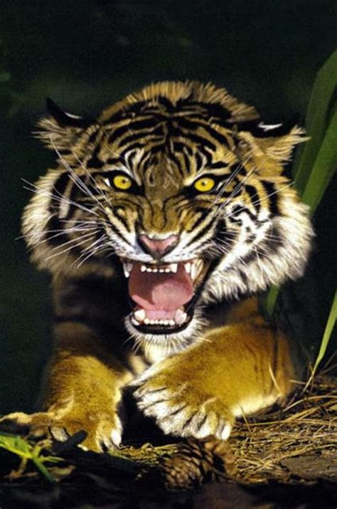 tigers  action pictures wallpaper pictures