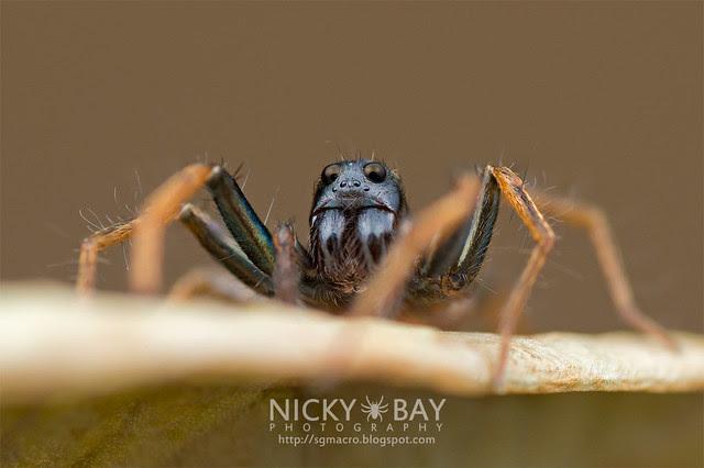 Wolf Spider (Lycosidae) - DSC_3442