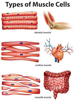 diagram showing types of muscle cells_1308 3741