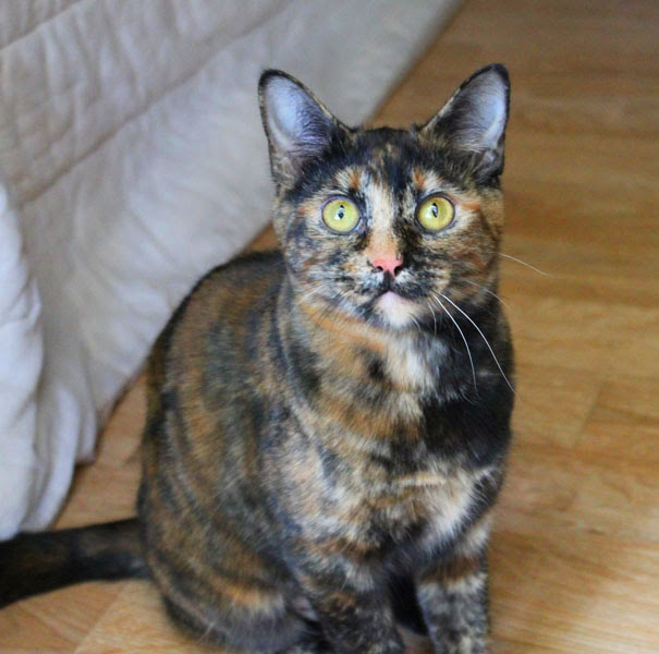 Does coat color determine a cat's personality? » AdoptaPet ...