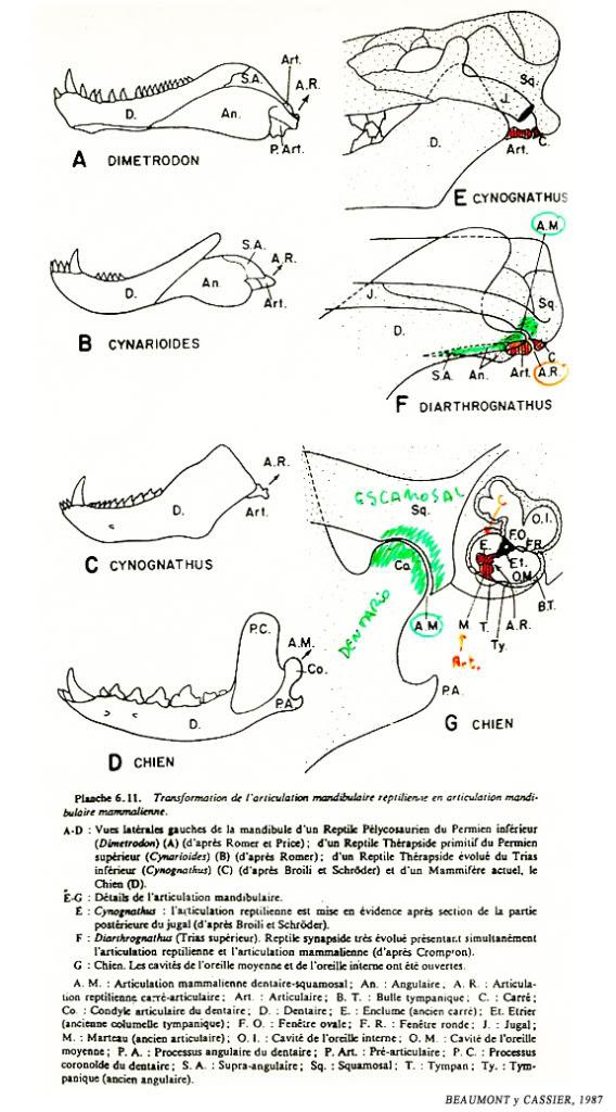 external image dentadura-BEAUMONTyCASSIER1987_2.jpg