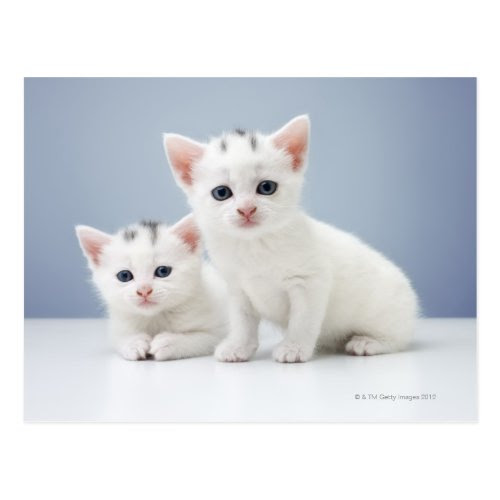 Two Inquisitive Kittens | Cute Photo Postcard
