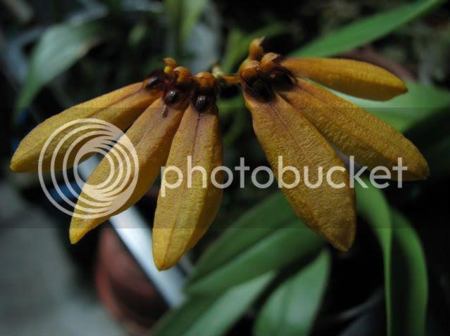 IMG_4813-1.jpg B mastersianum 190409 picture by shaifuls