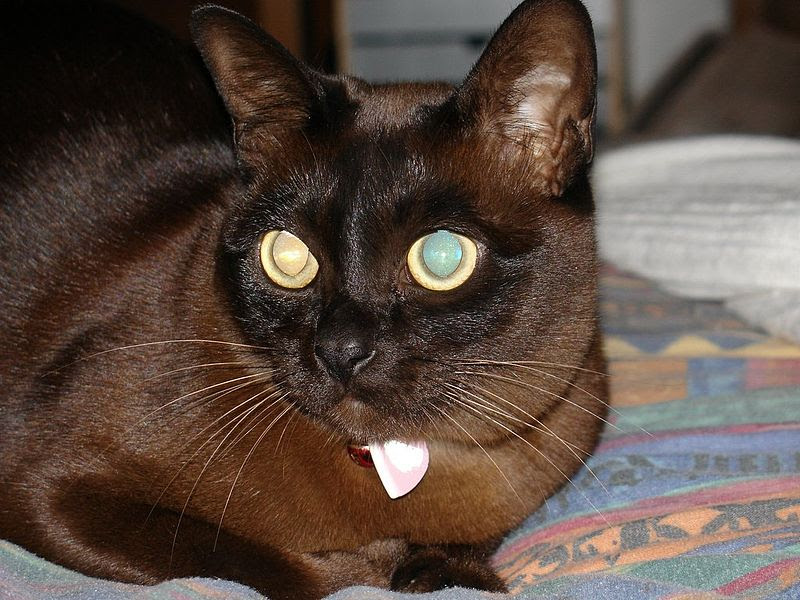 Dilutions and Modifiers of Coat Color in Cats   Color Genetics