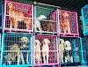 Cientos de perros Golden Retriever son rescatados justo a tiempo del más triste destino en China