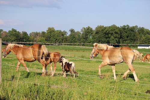 IMG_0608_Amish_Pony_with_Draft_Horses