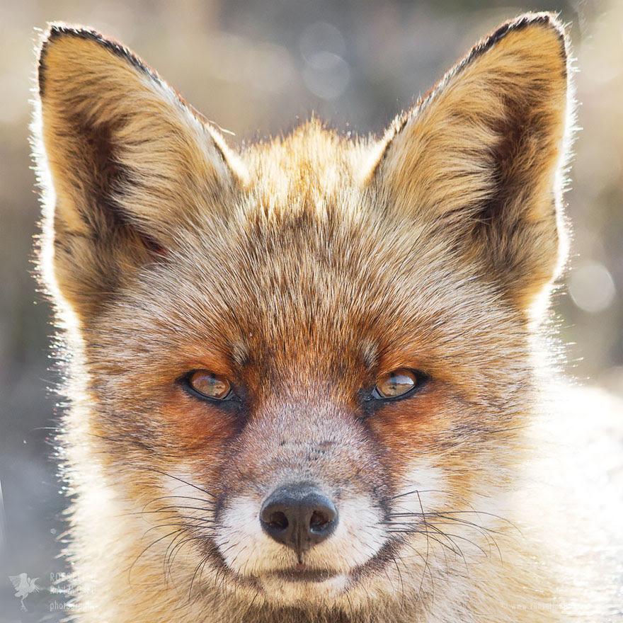 fox-faces-roeselien-raimond-older