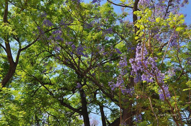 Jacarandá VIII - Jacaranda mimosifolia