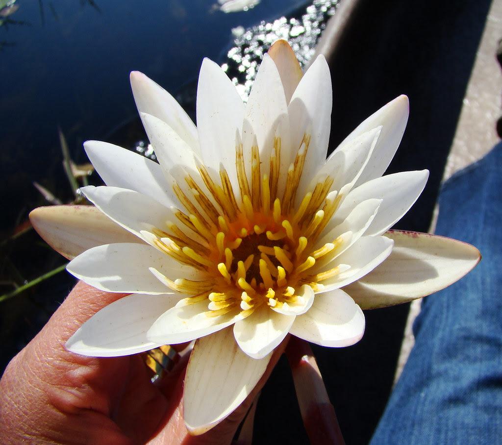 DSC08868 Water Lily