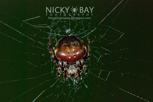 Orb Weaver Spider (Araneus nox) - DSC_5703