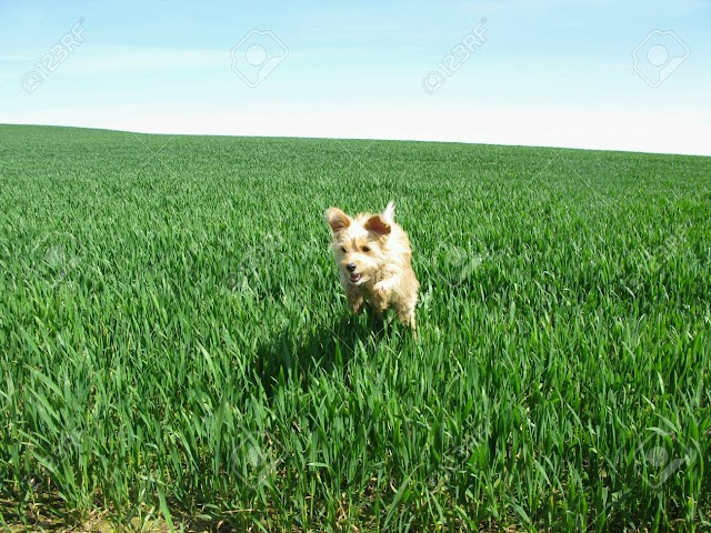 Skyes – The Great Little Dog