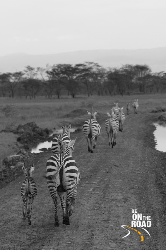 A small herd of common zebra run on the jeep track