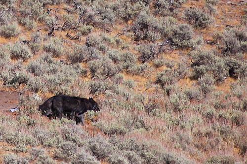 IMG_8389 Wolf, Yellowstone NP