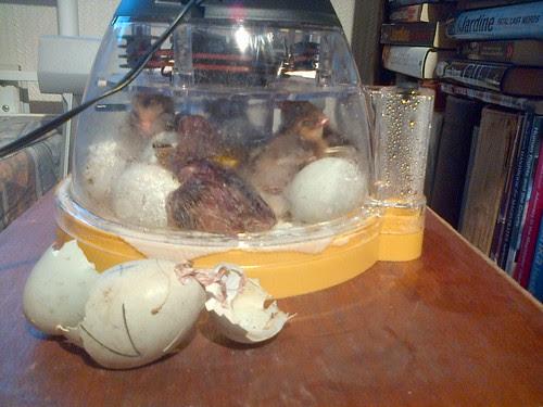 hen chick Mar 13 4