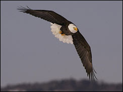 endangered species bald eagle