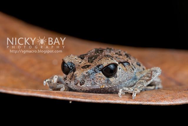 Black-eyed Litter Frog (Leptobrachium nigrops) - DSC_1468