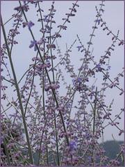 F03a lavender bush