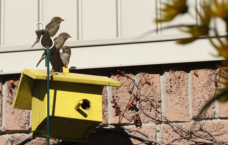 sparrow trio