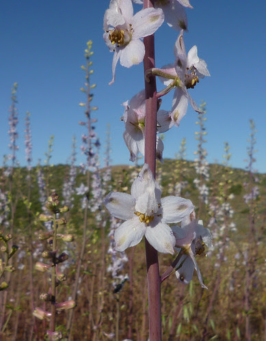 gypsum-loving larkspur - delphinium gypsophilum ssp. gypsophilum