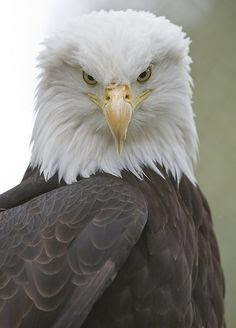 PicsVisit: Bald Eagle