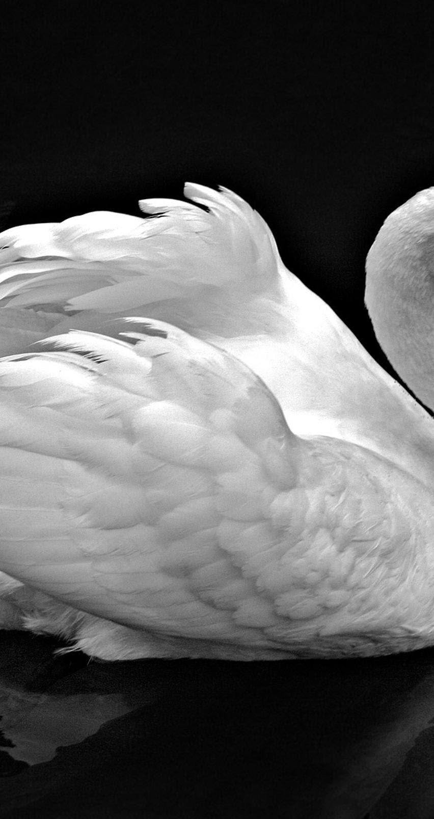 Wallpaper Hd 1080p Black And White Swan Pixell Wallpapers