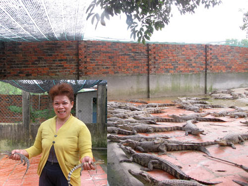 Nuôi cá sấu mang về cho gia đình bà Tình số tiền hơn 1 tỷ đồng mỗi năm